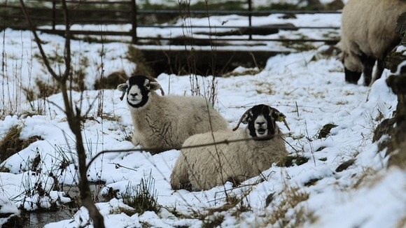 Sheep shelter in their field in the snow covered hills near Brough in the North Pennines after overnight snowfall.