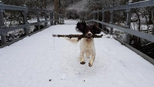 Ralph frolicking in the snow at Kings Meaburn, Cumbria
