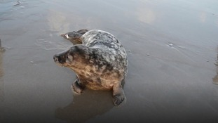 Heart-warming moment rescued seal pup is returned to Wales' oceans