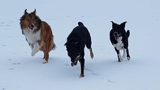 """My 9 month old rough collie, Orca, enjoying his 1st snow day with his brothers, Dash and Diesel"""