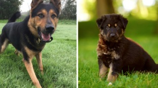 Police dog Gil now (left) and as a puppy.