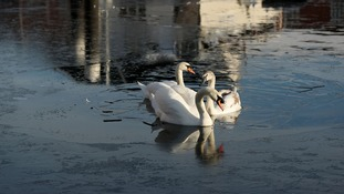 A swan has been killed and another injured after being shot with an air rifle