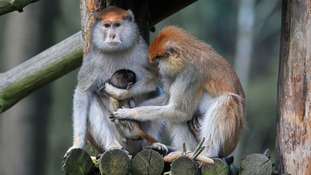 Woburn Safari Park fire: 13 Patas monkeys killed as blaze breaks out in African Forest drive-through