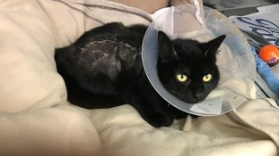 Cat in need of new home after being trapped and burnt in car engine