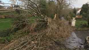 Fallen tree at Five Oaks