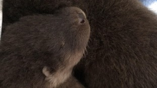 Otter pups rescued from Suffolk water mill