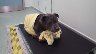 Zeena is being treated at the RSPCA's Birmingham Animal Hospital.