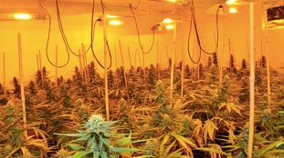 Cannabis plants found in Wallasey