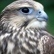 The falcon went missing in Weston.