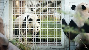 Pandas Tian Tian (left) and Yang Guang in their enclosure at Edinburgh Zoo.