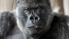 The Western lowland gorilla died in his sleep.