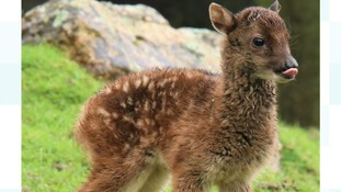 Adorable - and very rare - deer is born at Newquay Zoo