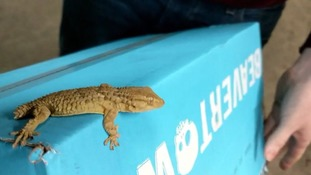 Stowaway gecko found in Manchester after travelling thousands of miles in a box of beer