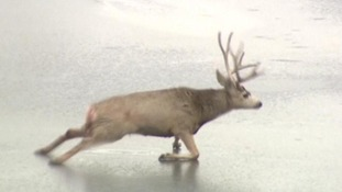 The deer tried in vain to scramble off the frozen lake