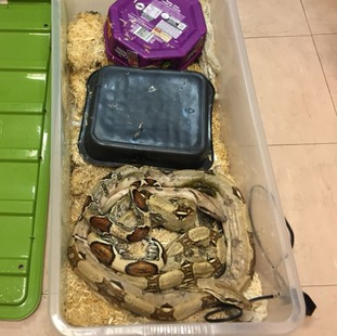 Veterinary opinion is that the snakes were both underweight and in poor condition.