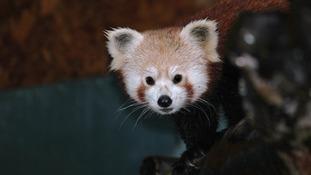 Tibao red panda