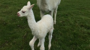 Three alpacas killed in Buckinghamshire