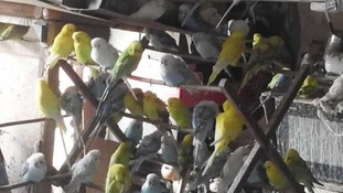 Hundreds of budgies need homes after being rescued from the same house