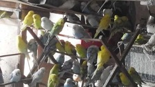 Hundreds of budgies need homes after being rescued
