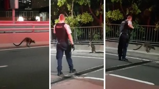Wallaby gives police the hop on Sydney Harbour Bridge