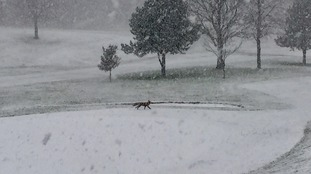 Joanne sent this pic of a fox in the snow.