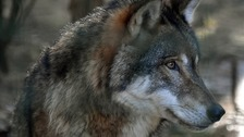 Wolf escapes from sanctuary near school