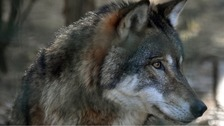 Wolf escaped from animal sanctuary in Reading recaptured