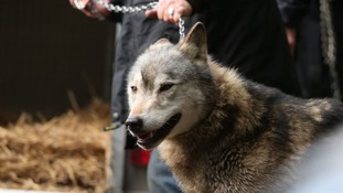 Wolf recaptured after escaping from animal sanctuary