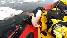 Penguin surprises researchers by leaping into boat