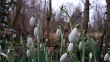 Snowdrops in Stapleford, Cambridgeshire.