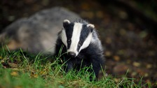 Badgers close road in west Cumbria