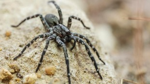 Longleat joins rescue programme for extremely rare spider