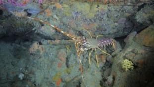 Sark vote to protect crawfish