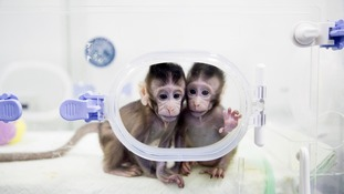 The two monkeys are genetically identical.