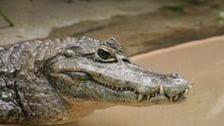 Caiman Crocodile