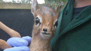 Twycross Zoo welcomes first ever baby Dik-Dik