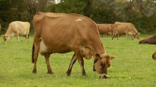 Cattle and other stock will now graze on the Green Zone land in Trinity
