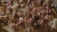 Chickens saved from slaughter