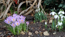 Spring flowers in bloom in January in a garden in Brantham, Suffolk.