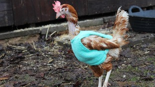 Students and parents rushed to knit jumpers to keep the birds warm while outdoors