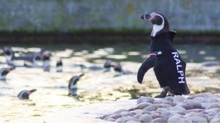 Wildlife park announces death of Ralph the Penguin