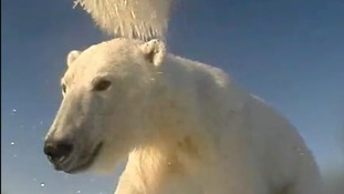 Polar bear-cam reveals life on the Arctic ice as a new study shows many are starving
