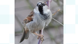 A male house sparrow sits on a branch in a residential garden