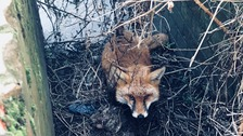 A fox had fallen into an overflow gully