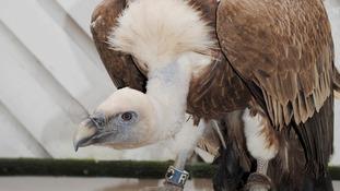Yatsey the vulture
