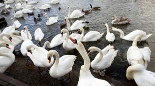 Bird flu killed dozens of swans in Windsor