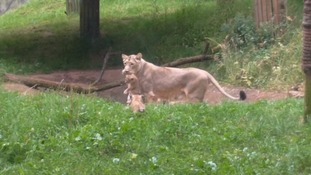 Paignton Zoo gives lioness contraceptive implant
