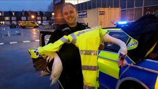 Swan rescued from the A33 in Reading