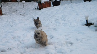 Cairn terriers honey and Shandy enjoy the snow in Norfolk