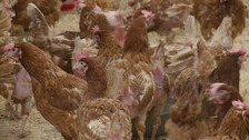 Huge chicken farm opposed by Northamptonshire MPs